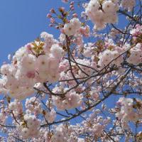 八重桜だった