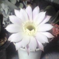 さて、咲いたところを見られるか   画像を追加します