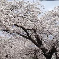 """釜石市唐丹町""""旬の桜並木"""""""