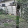 タケノコが竹になった日