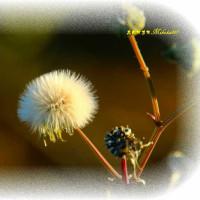 花彩る たんぽぽの綿毛どこ行く