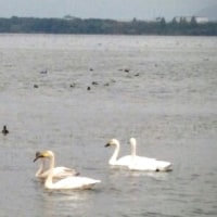 白鳥の湖♪ (シャロン)