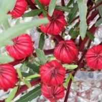 ローゼルの花芽