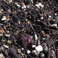 待ちに待ったアスパラガスの芽!