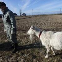 人参持って山羊さんに逢いに。