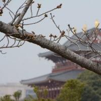 平城京跡の桜はまだ