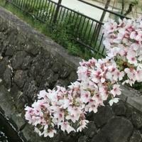 今年は地元の桜とタイミングあわせられなかった