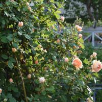 連日の夏日で、バラの開花が進んでます!・・・5月22日
