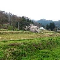 石部桜 満開