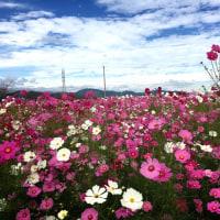 10/23(日)コスモス畑と、「ハッピーハロウィン!!」