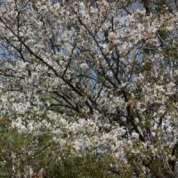 山桜、ジューンベリー