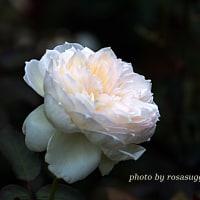 ボレロ  ロゼット咲きのバラ
