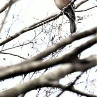 今日の野鳥  ジョウビタキ・カケス・カワセミ