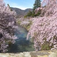 音楽村の水仙と上田城の桜
