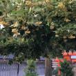 紫陽花を見に行きました