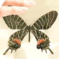 シボリアゲハ亜種群と近縁種たちの概観