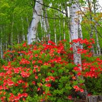 レンゲツツジ咲く高原