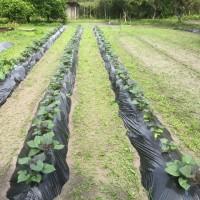 ジャガイモは、少し早すぎた ・・・我が家の農作物の生育状況