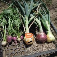 第2弾の、ゴールドラッシュ、発芽!北海道のマッチ棒サイズのタマネギ苗、立派になって初収穫!