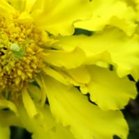 マリーゴールドの花にカニグモ