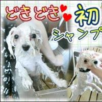 はるちゃんの里帰り♪そして初シャンプー体験(^^)/