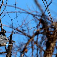 野鳥観察 ヤマセミ