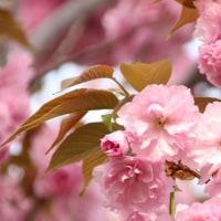 お気に入りの八重桜・2017年