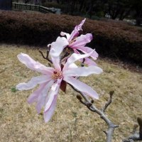 昭和記念公園 花便り コブシとハクモクレン 3月24日