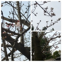 小倉城周辺の桜