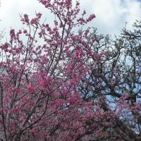 お待たせしました。沖縄の桜です。