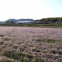 久し振りに、蓮華の白花探し        2017.04.22.(2)