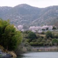 我が家の近くで咲いてくれてた 今年の桜見納め真近