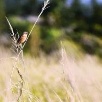 今日の野鳥 チョウケンボウ・トビ・モズ・ノビタキ