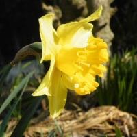 カラスのエンドウの花と黄色の水仙「エキスプローラ」
