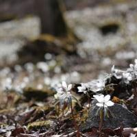 山岳点景:White Spring 春告花嶺