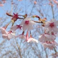 桜の開花宣言されましたが.....