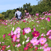万博公園のコスモス(2016年)