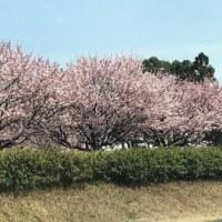 桃の花2017
