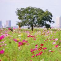 都市農業公園のコスモス