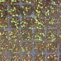 サラダ系野菜の発芽