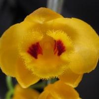 原種デンドロビューム Den.  chrysanthum