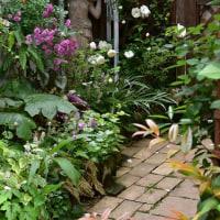 今頑張っている、日陰の庭のバラ仕事の2・・・芽かき&蕾のピンチ&色々