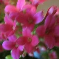 カランコエの開花