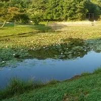 スイレン、(睡蓮)、県立三木山森林公園