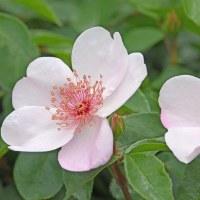 伊奈公園で咲く「春バラ」(その4) !!