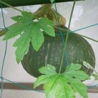カボチャ、へちま、ゴーヤの実が育っています