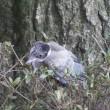 オナガ 幼鳥、2態