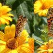 黄色い花に舞うヒョウモン