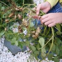 裏庭に植えた【おおまさり】の収穫