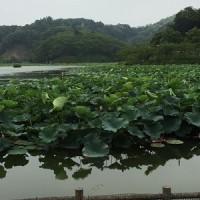 初夏の蓮華寺池